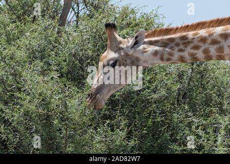 giraffe eating leaves from a large bush, Botswanagiraffe eating leaves from a large bush, Botswana - Stock Photo