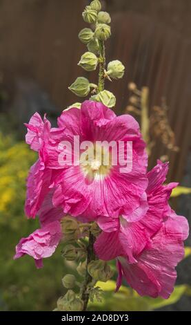 Common hollyhock 'Alcea rosea' - Stock Photo