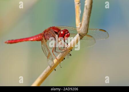 fire dragonfly - Stock Photo