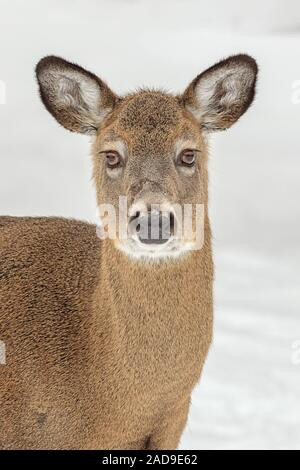 A portrait of a White-tailed Deer in winter. - Stock Photo