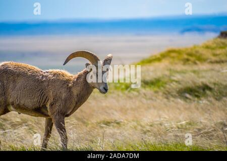 A female Bighorn Sheep in the field of Badlands National Park, South Dakota - Stock Photo