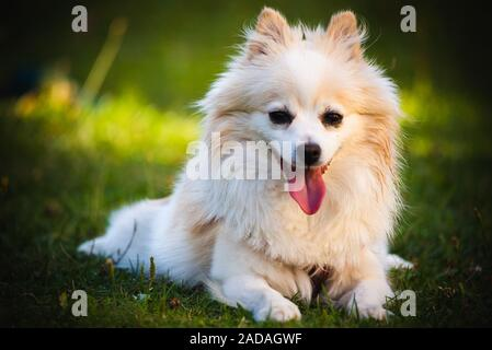 Pomeranian Spitz dog outdoors lying down on grass portrait - Stock Photo