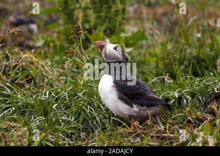 atlantic puffin, Common puffin, (Fratercula arctica), Hafnarholmi, Iceland - Stock Photo