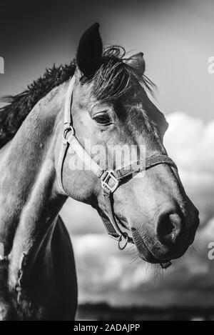 Head closeup of a horse standing on meadow, on farm in sunny day. Black and white - Stock Photo