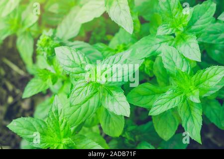 Green Pointed Leaves of Peppermint plants from the Mint Herb family are growing. - Stock Photo