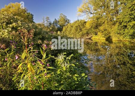 Himalayan balsam, Indian balsam, Ruhr river, Arnsberg, Sauerland, Germany, Europe