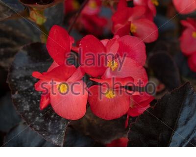 The bright red flower of summer bedding plant Begonia semperflorens, also known as wax begonia - Stock Photo