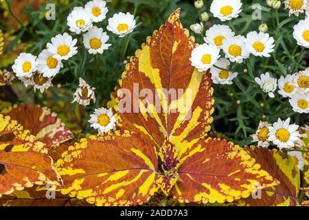 Orange Coleus plant - Stock Photo