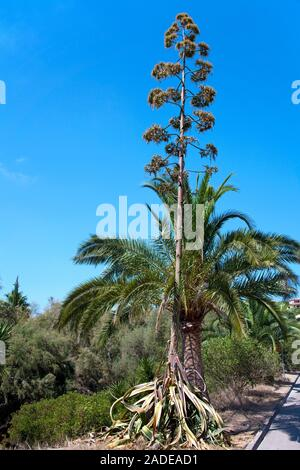 Agave, sentry plant, century plant, maguey aloe or American aloe (Agave americana), Cala Romantica, Porto Christo, Mallorca, Balearic islands, Spain - Stock Photo