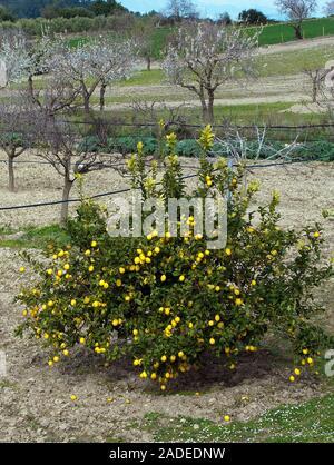 Lemon tree on a field at Algaida, Mallorca, Balearic islands, Spain - Stock Photo