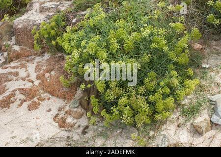 Yellow Rock Samphire growing wild on beach. Crithmum maritimum L. Apiaceae - Stock Photo