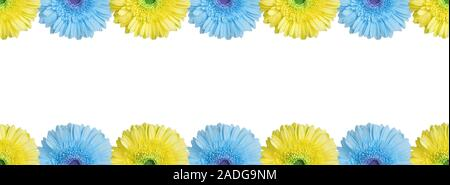 Light blue and yellow halves gerbera flowers border on white background isolated close up, half gerber flower seamless pattern, decorative frame - Stock Photo
