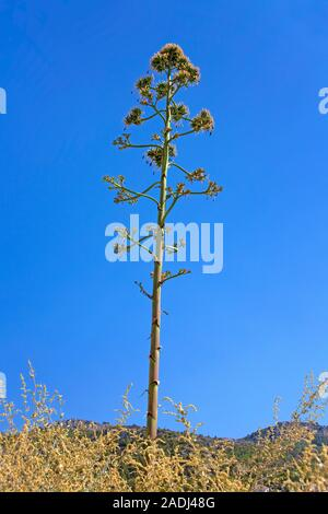 Agave, sentry plant, century plant, maguey aloe or American aloe (Agave americana), Mallorca, Balearic islands, Spain - Stock Photo