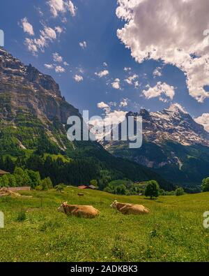 Cows in the foreground of the Swiss Alp mountains - Stock Photo