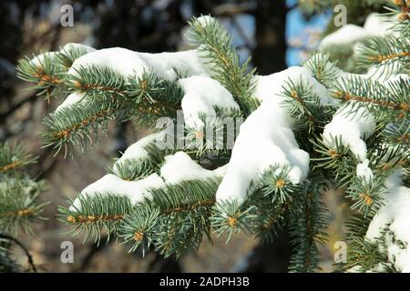 Winter background. A branch of a blue Christmas tree under the snow. New Years Eve and Christmas natural tree in a snowy forest. Preparing for the hol - Stock Photo