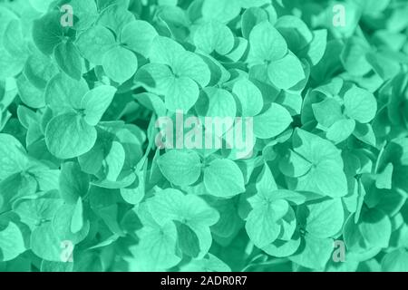 Close up of beautiful aqua menthe colored hydrangea flowers. Fresh romantic background. Trendy 2020 color concept. - Stock Photo
