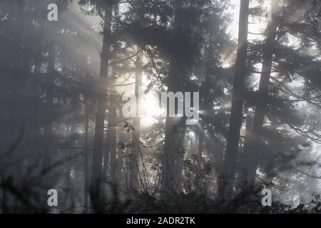 Bright sunlight filtering through bare trees and fog in winter in a forest near Eugene, Oregon, USA. - Stock Photo
