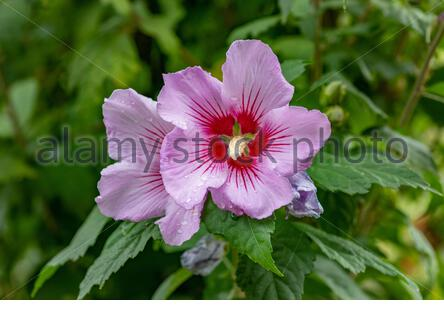 Hibiscus Syriacus (Rose of Sharon) growing in it's natural setting with foliage in the background. - Stock Photo