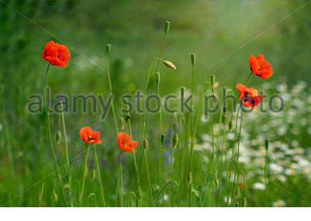 Papaver rhoeas flowers, red, corn, rose, field poppy, flanders poppy, annual herbaceous species of flowering plant in the family Papaveraceae. - Stock Photo