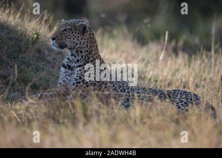Leopard (panthera pardus) at termite mound in Moremi NP (Khwai area), Botswana