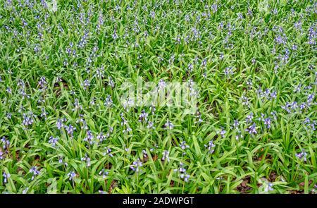 Spanish bluebells Hyacinthoides hispanica - Stock Photo
