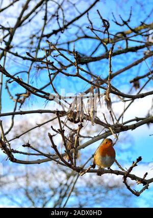 European robin,Erithacus rubecula,perched on a small branch,in the warm sunshine,England,UK - Stock Photo