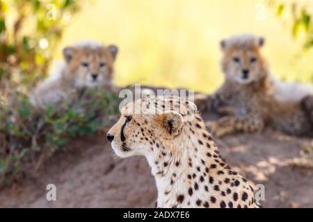 Vigilant Cheetah with her cubs in the shade