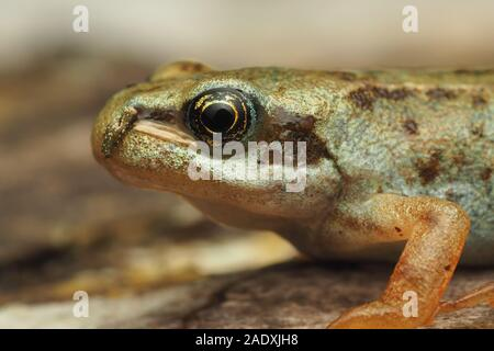 Close up of Common Froglet (Rana temporaria) resting on the ground. Tipperary, Ireland - Stock Photo