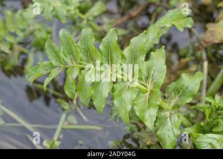 Leaves of drainage channel aquatic weed. Thought to be Lesser Water-Parsnip / Berula erecta. Obstruction concept, blockage, aquatic plants UK - Stock Photo