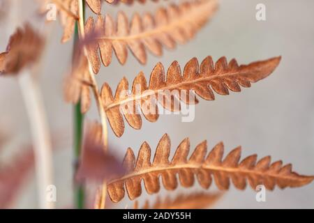 Close up at the common bracken Pteridium aquilinum leaves in late autumn. - Stock Photo