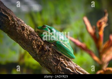 Tree frog Litoria Caerulea standing on the branch - Stock Photo