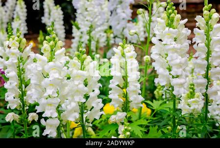 White Sonnet snapdragons bloom at Bellingrath Gardens, Feb. 24, 2018, in Theodore, Alabama. - Stock Photo