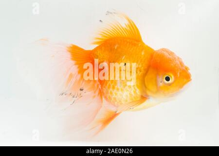 Beautiful Orange Oranda Goldfish (Carassius auratus) diving in fresh water glass tank isolated on white background - Stock Photo