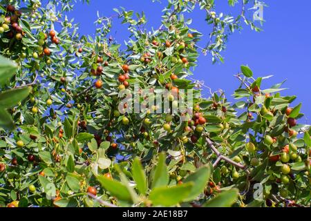 Ziziphus mauritiana Chinese date, ber, marmalade, Indian plum tropical fruit tree. the cultivation of berries. - Stock Photo