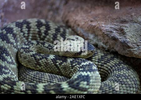 black-tailed rattlesnake. Crotalus molossus is a venomous pit viper species. - Stock Photo