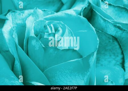 Aqua menthe color rose flower as background. Macro shot - Stock Photo