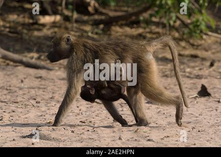 Baboon mother with cub on the bank of the Chobe River in Botswana - Stock Photo