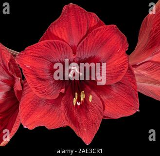 isolated red amaryllis center heart blossom macro,black background,fine art still life color macro, detailed textured blooms,vintage painting style - Stock Photo