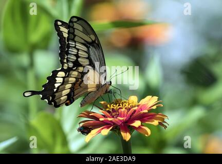 Closeup of Giant Swallowtail Butterfly ( Papilio cresphontes) feeding on nectar from Zinnia flower in Canadian garden.