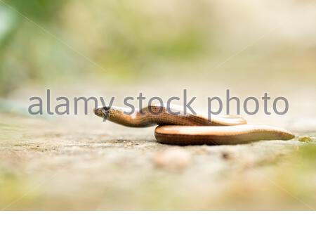 A blindworm in a garden, a very unique photo of the species. Anguis fragilis in its habitat. A species of reptile that is common in switzerland. Adult. - Stock Photo