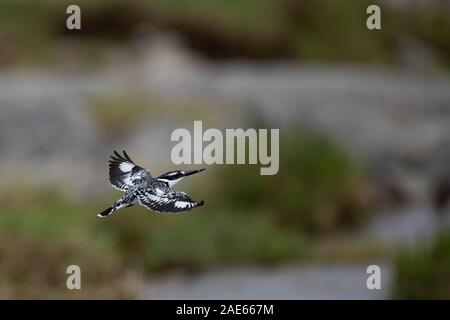 A Pied Kingfisher in flight - Stock Photo