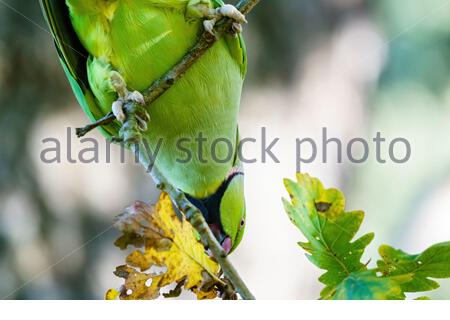 Ring-necked parakeet (Psittacula krameri) perched on small branch,in London, England - Stock Photo