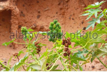 Prickly fruits of wild castor oil plant (Ricinus communis) in front of orange rock face (Tenerife, Spain) - Stock Photo