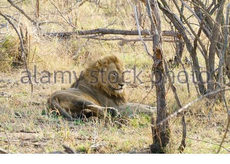 Lion (Panthera leo) taken in South Africa - Stock Photo