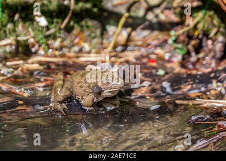 Marsh frog sits on a green leaf among white lilies in the pond - Stock Photo