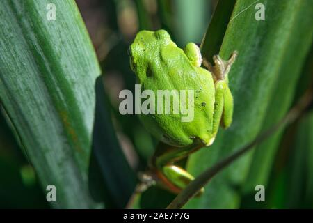 European tree frog walking on a leaf - closeup - Stock Photo
