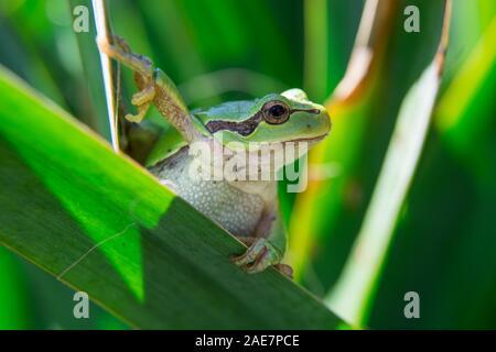 European tree frog walking on leaves - closeup - Stock Photo