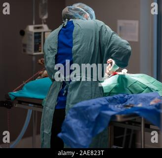 A veterinary surgeon performs an operation on a canine inside a the operating room at a veterinary clinic. - Stock Photo