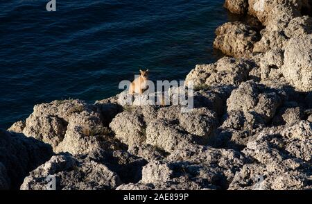 Adult female Patagonian Puma sitting on a calcium rock formation close to   the waters of a lake in Torres del Paine National Park. - Stock Photo