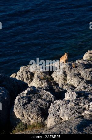 Adult female Patagonian Puma sitting by edge of lake after drinking - Stock Photo